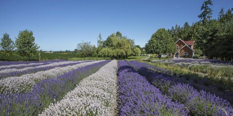 purple-haze-lavender-farm-1400x700-1