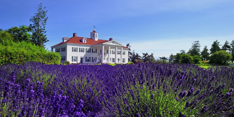 lavender-close-up