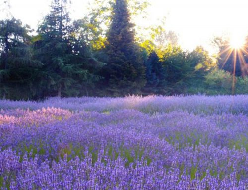 Pruning Lavender for Health and Beauty