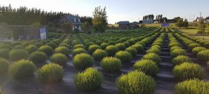 Young lavender plants at Olympic Heritage Lavender Farm