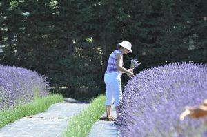 Planting lavender has many benefits