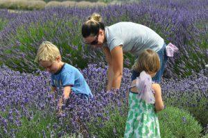 Harvesting lavender at Jarden du Soleil