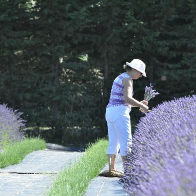 Growing lavender in a garden