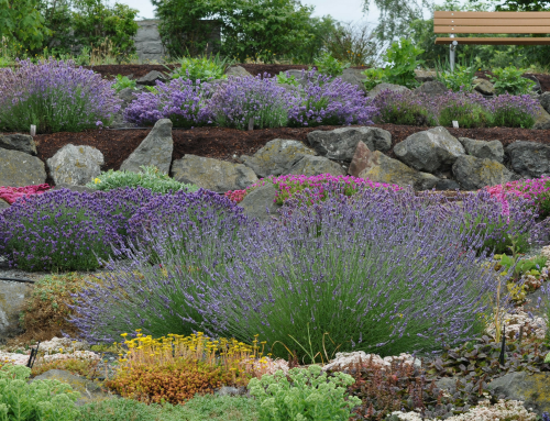 Potted Lavender Plants