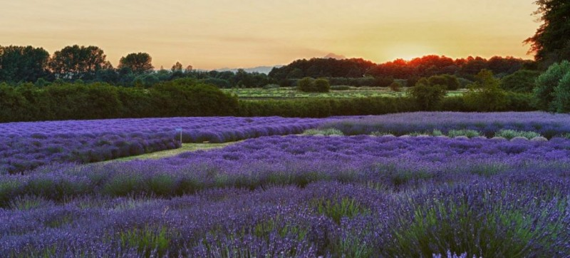 Jardin du Soleil Lavender