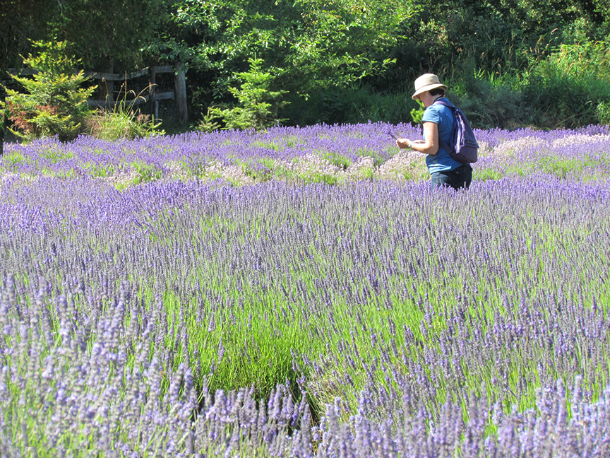 City of Sequim Lavender Weekend image