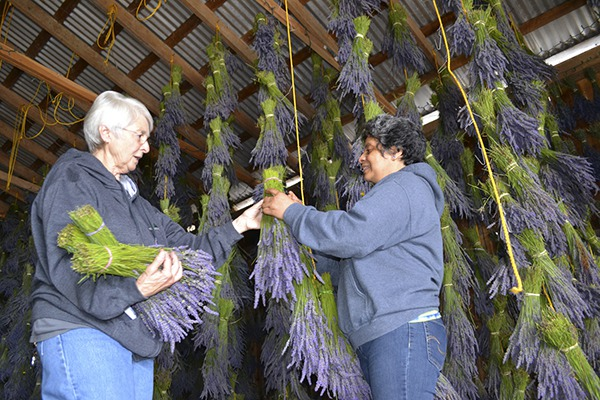 Maribel-and-Barn-Hanging-Lavender