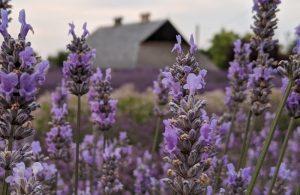 Lavender Connection farm