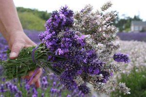 U-Cut Lavender Bouquet