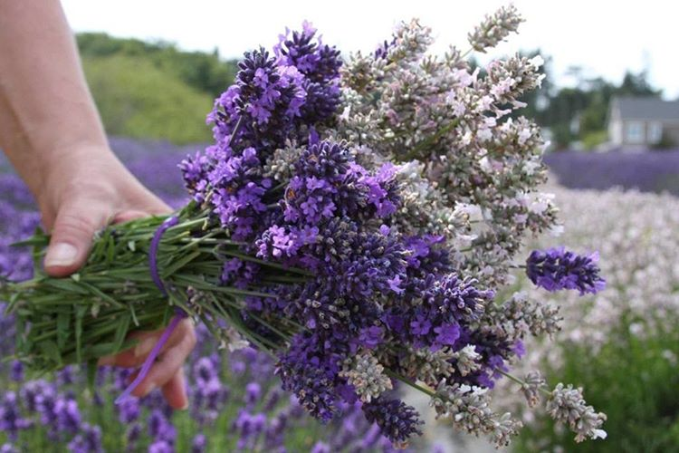 U-Cut Lavender Bouquet